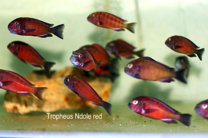 Tropheus, Tropheus Ndole, Tropheus Ndole red