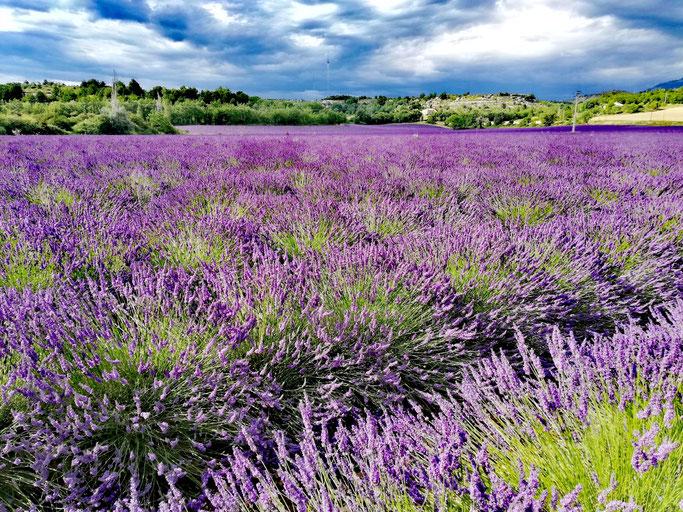 Ein Traum wurde wahr: Die Lavendelblüte in der Provence sehen und riechen!