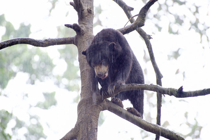 Sun bear, Sepilok, Borneo - The Ultimate 3 Day Guide To Visiting Sepilok, Borneo  © Nussbaumer Photography @nussbaumerphoto @Mafambani
