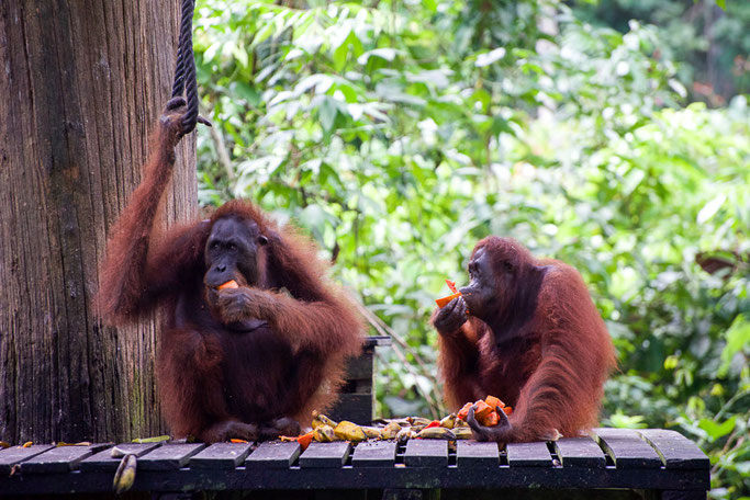 Orangutan sanctuary, Sepilok, Borneo - The Ultimate 3 Day Guide To Visiting Sepilok, Borneo  © Nussbaumer Photography @nussbaumerphoto @Mafambani