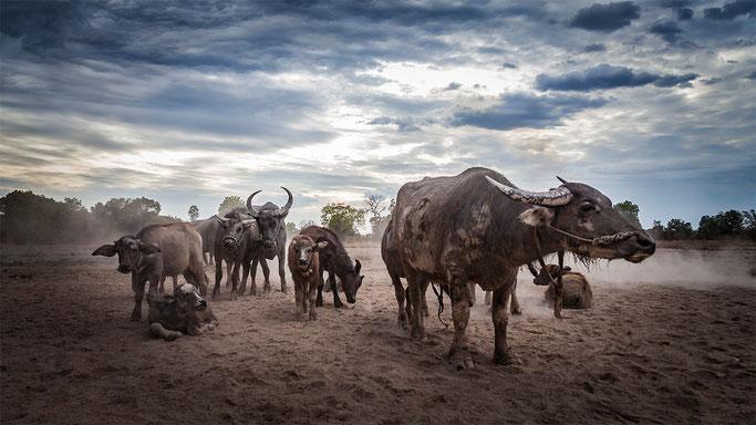 Búfalos de agua, en Don Khong