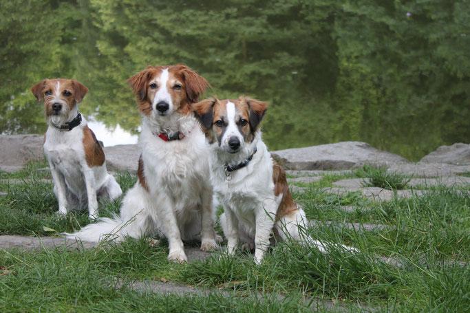 Drei Kromfohrländer - Flocke, Bonny und Amy