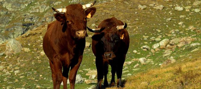 Die Wandergruppe wird neugierig beäugt von zwei rotbraun glänzenden Kühen, die ihre Horne noch tragen dürfen