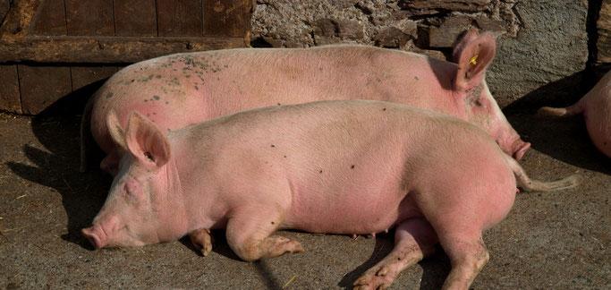 So wie diese Schweine lasse ich es mir auch gerne gutgehen...