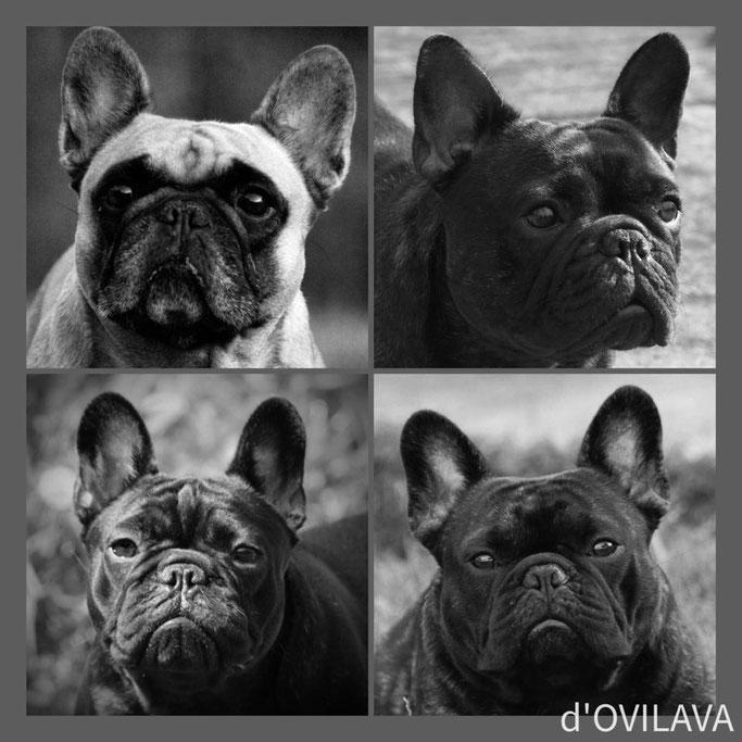 Wer Wir Sind Franzosische Bulldoggen Unsere Passion Ovilava