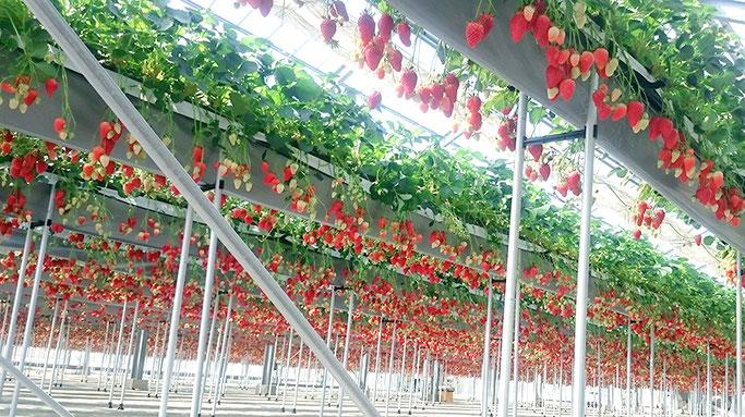 イチゴが沢山実った時は、こんな感じだそう!(ベリーファーム宇治さんのHPより)イチゴのカーテン!