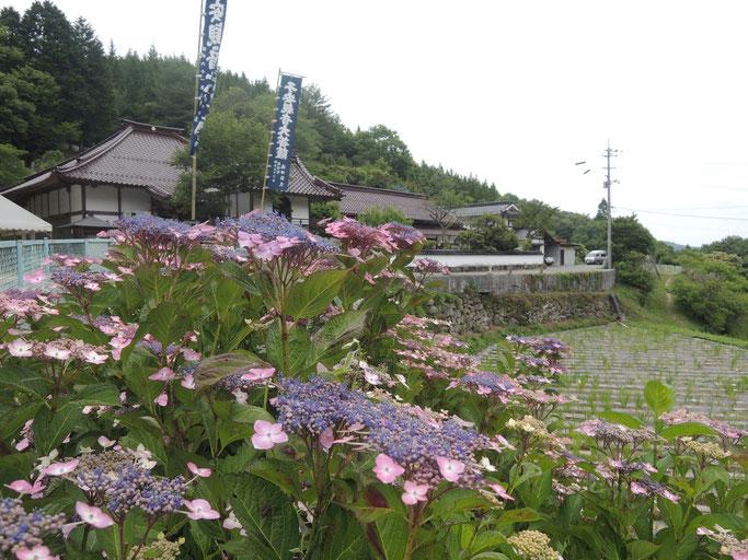 岡山県新見市済渡寺。紫陽花、花菖蒲、睡蓮で有名です。