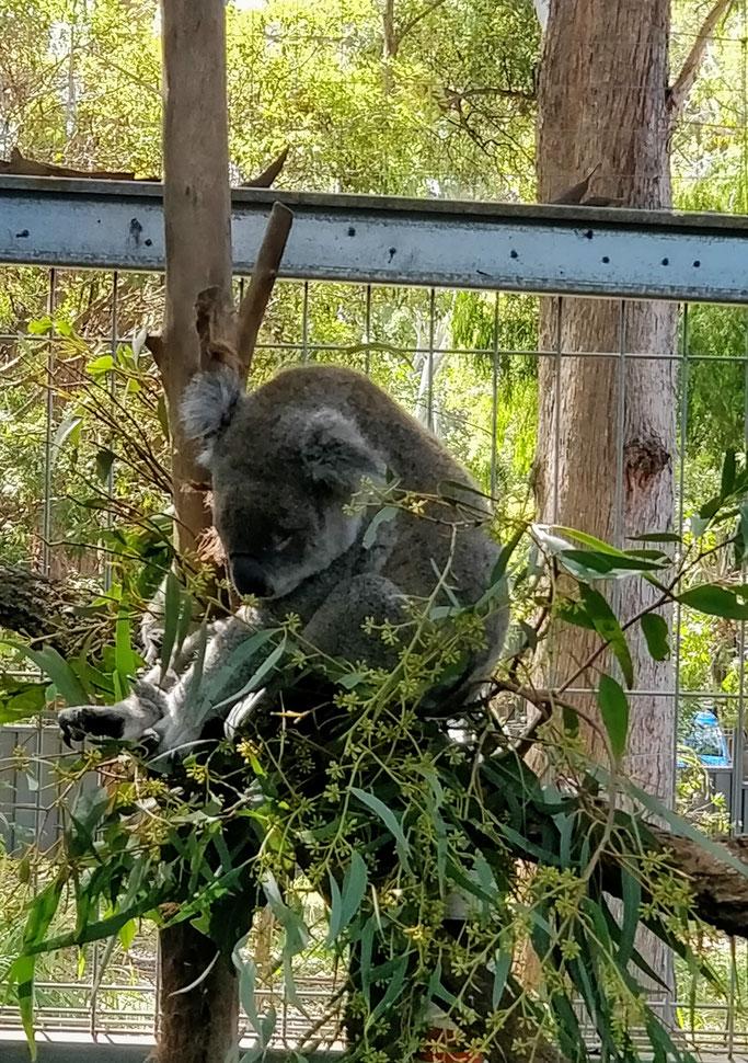 Il est bien plus pépouze dans son eucalyptus que dans nos bras ;)