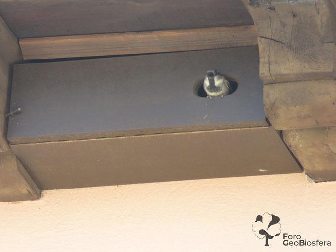 Macho de gorrión común (Passer domesticus) asomándose en la entrada del nidal. (Foto: F. Javier Sáez Frayssinet)