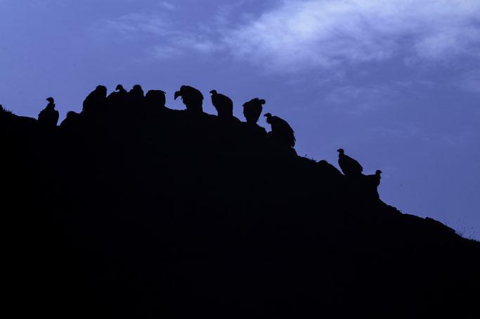La silueta de los buitres leonados recortados contra el cielo genera una impronta única en los visitantes de las Hoces del río Duratón