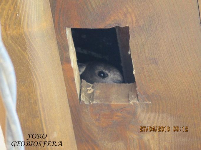 Prueba de la ocupación de los habitáculos de nidificación por vencejos en 2016. Durante esa primera primavera tras las obras, los vencejos ocuparon el 50% de los huecos. (Foto: F. Javier Saez Frayssinet)