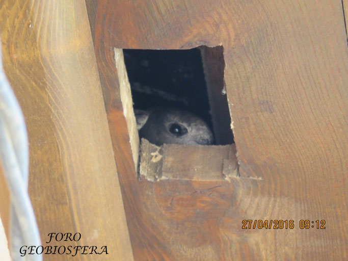 Prueba de la ocupación de los habitáculos de nidificación por vencejos en 2016. Durante esa primera primavera tras las obras, los vencejos ocuparon el 50% de los huecos. (Foto: F. Javier Sáez Frayssinet)