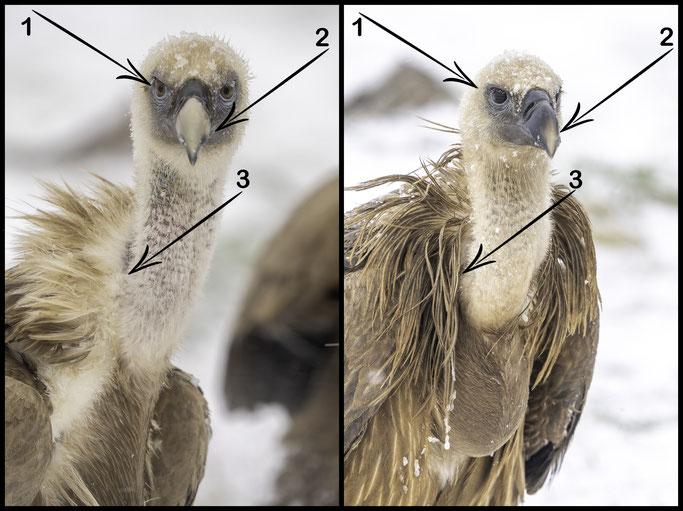 Características descritas para identificar individuos jóvenes (derecha) y adultos (izquierda) de buitre leonado.