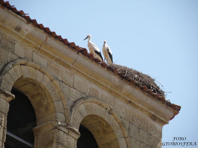 Nido de cigüeña sobre el campanario, con dos pollos, antes de la rehabilitación.  (Foto: F. Javier Sáez Frayssinet)