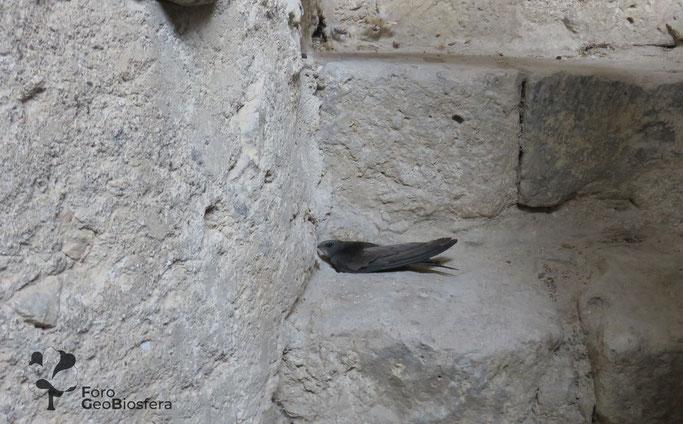 Vencejo atrapado en el interior de una iglesia en la que se sellaron mal los huecos del campanario. (Foto: F. Javier Sáez Frayssinet)