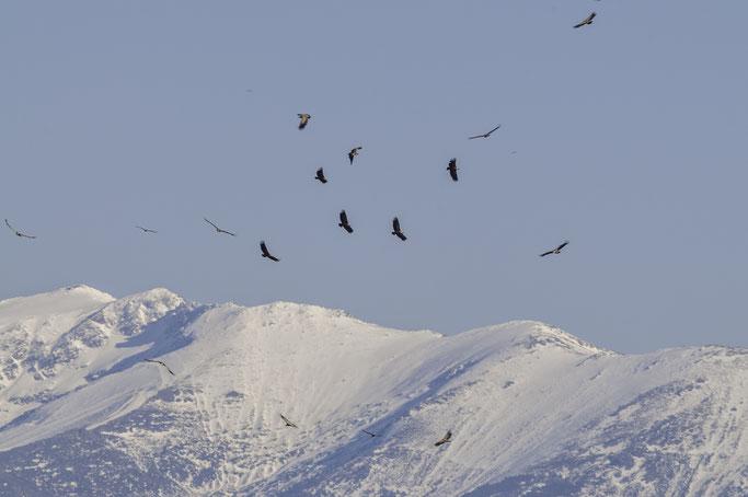 Buitres leonados ascendiendo de forma circular aprovechando corrientes térmicas, con la bella silueta de la sierra de Ayllón de fondo.