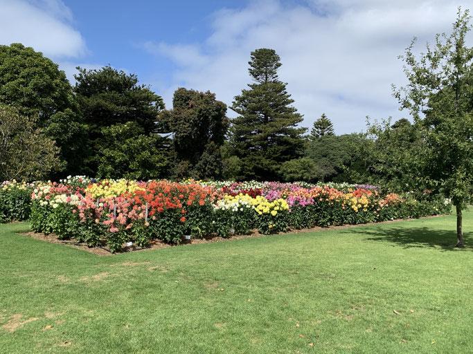Portland Botanic Gardens - field of dahlia's
