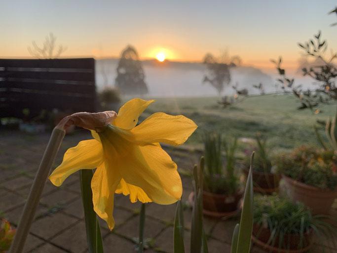 A daffodil rises in spring.