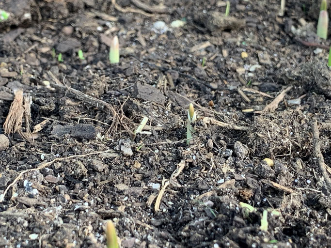 The garlic is beginning to shoot - May 2020