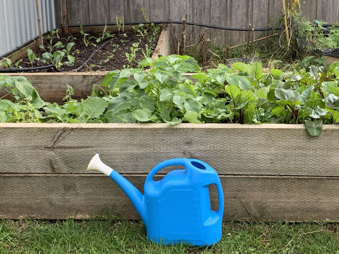 Watering time in our veggie patch - growing peas.