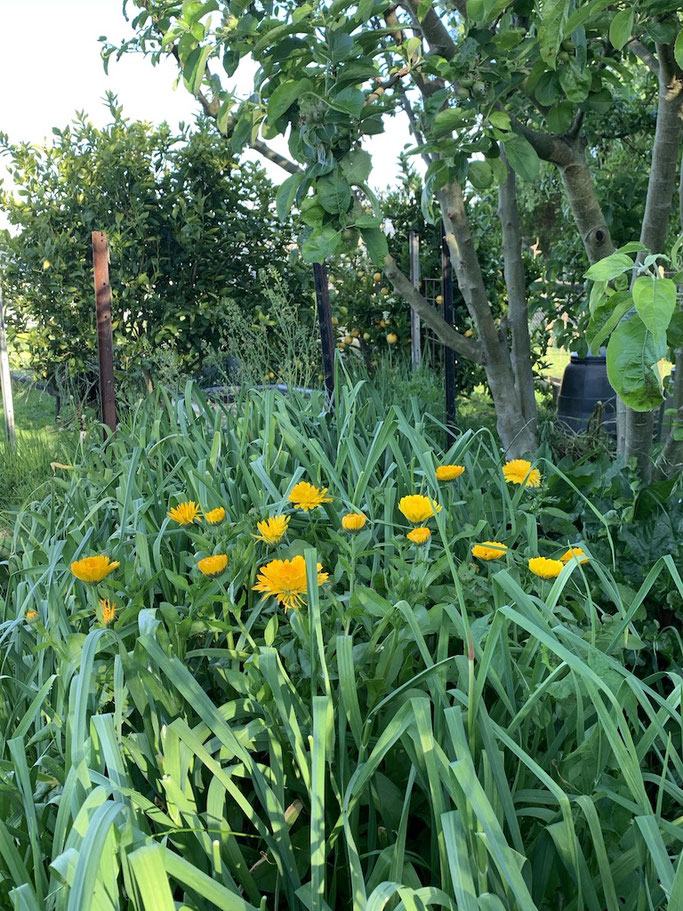 Companion Planting - Calendula with garlic
