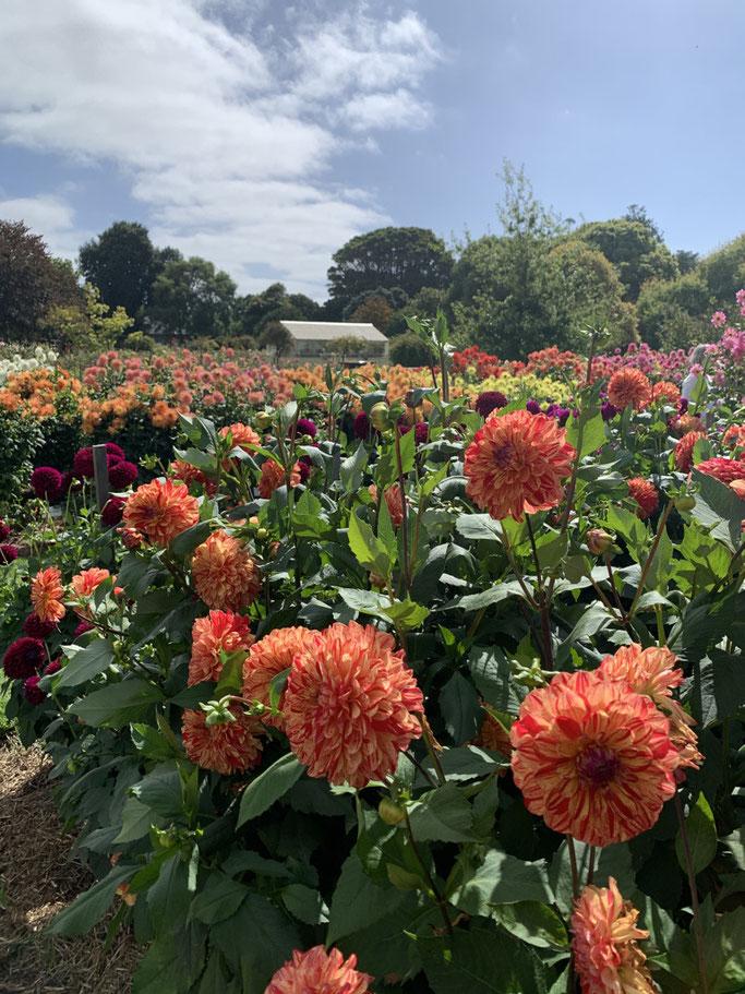 Portland Botanic Gardens - field of dahlia's with greenhouse.