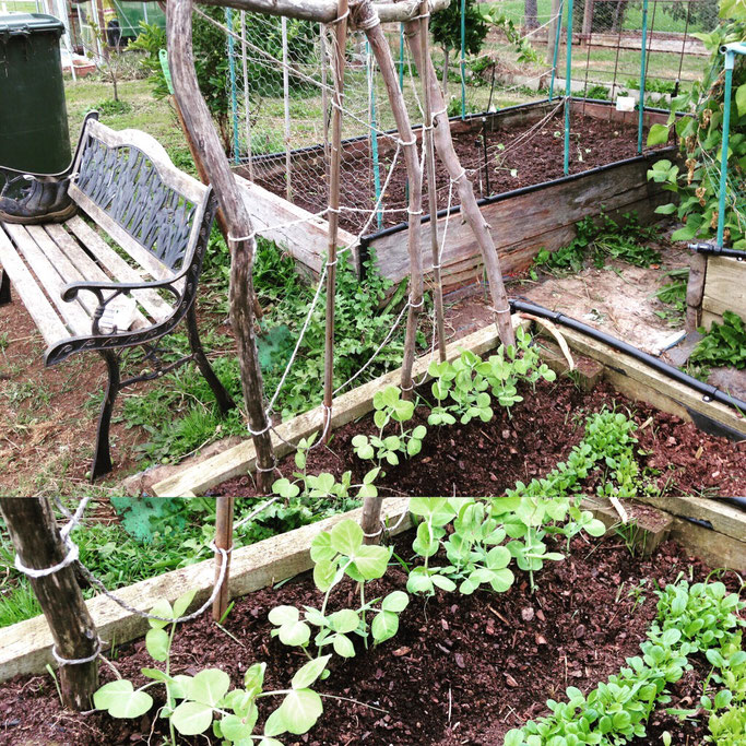 Growing peas along natural supports.