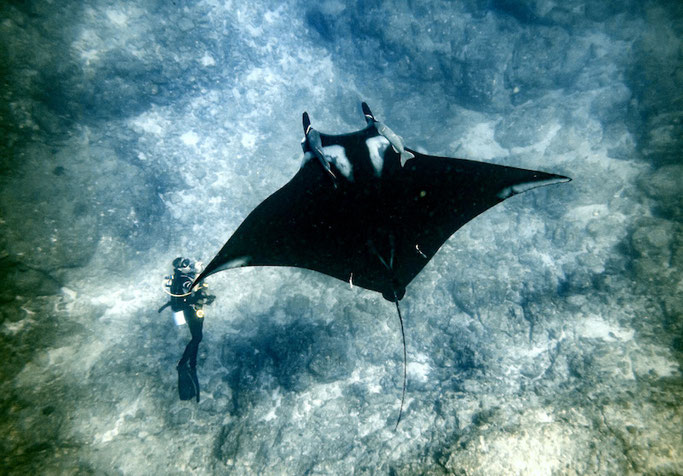diving with manta rays in mexico