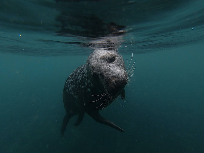 swimming with seals on lundy island