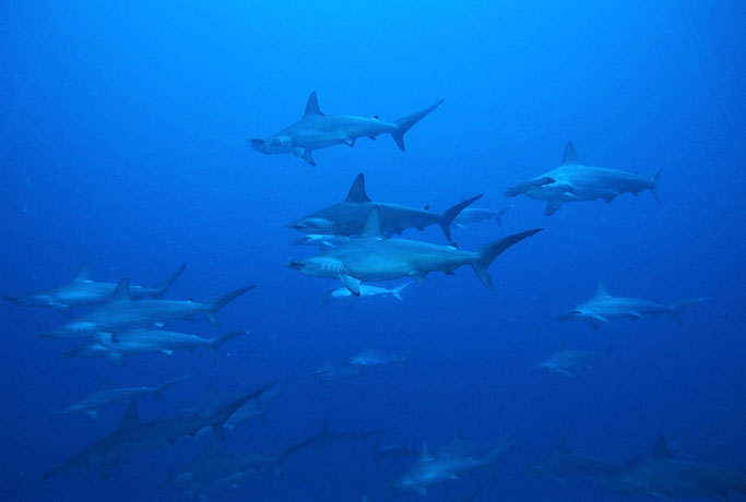 hammerhead sharks in asia