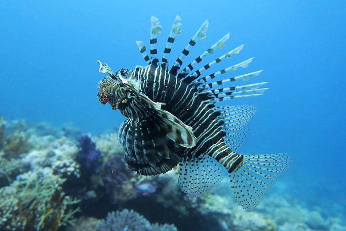 learn about lionfish