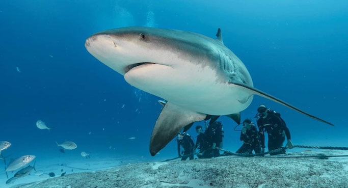 playa bull shark dive