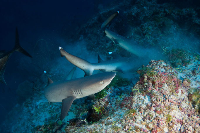 shark diving maldives