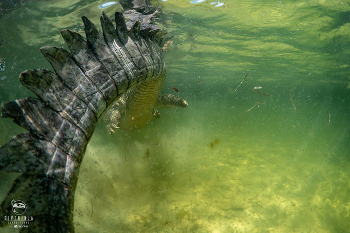 swimming with crocodiles in mexico