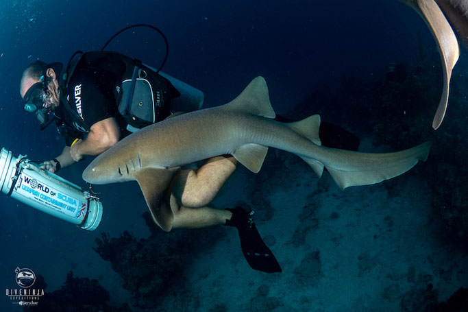 The nurse sharks after the lionfish