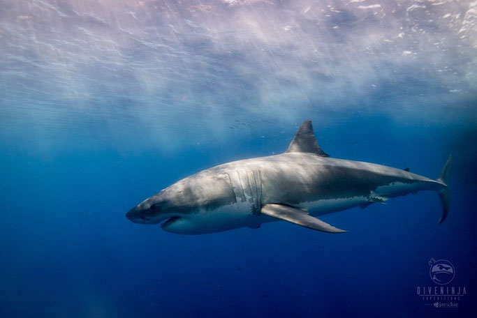 mexico great white shark