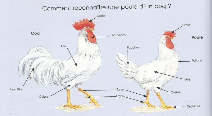 Dessin présentant les différences entre le coq et la poule (Élever des poules de Larousse)