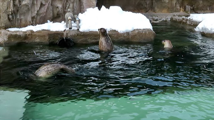 旭山動物園のゴマフアザラシ。