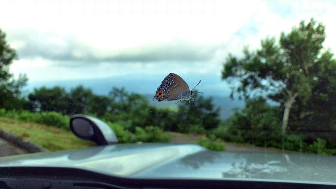 車のフロントガラスに止まったウラクロシジミ♂