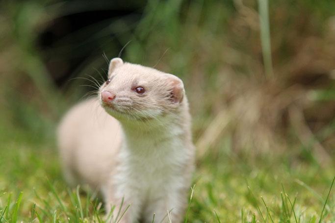 Mauswiesel Albino Stout Weasel Weazel Mustela