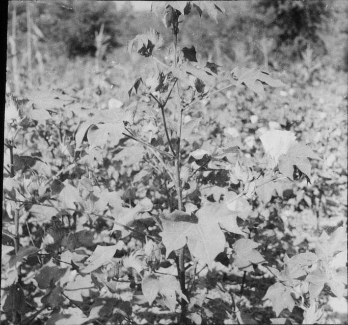 Markgraf - Rogozhinë - Gossypium hergaceum