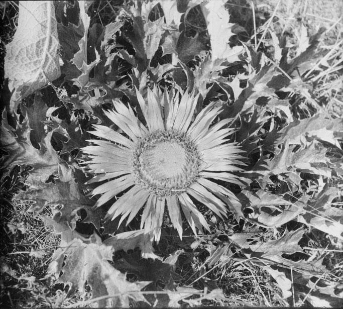 Markgraf - Guri i Bardhë, Mat - Carlina acanthifolia