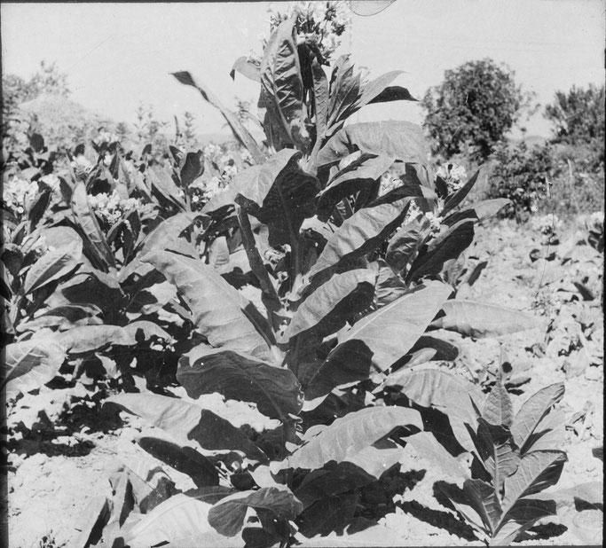 Markgraf - Belsh, Elbasan - Nicotiana tabacum