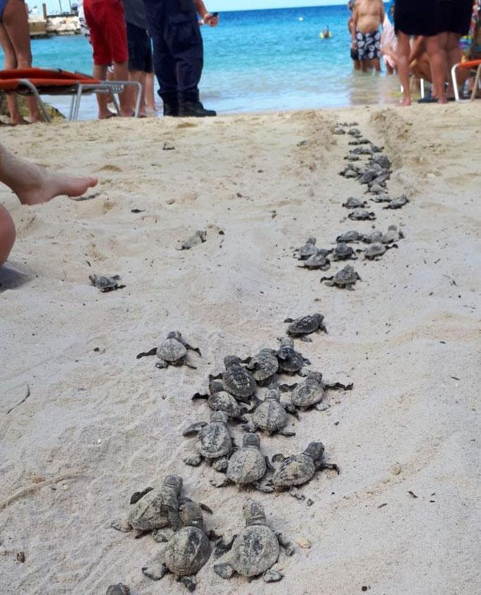 Karett-schildkröte-urlaub-curacao