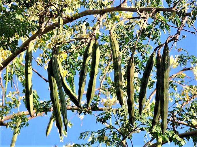 Moringa-oleifera-urlaub-curacao-cas-iguana-ferinhaus
