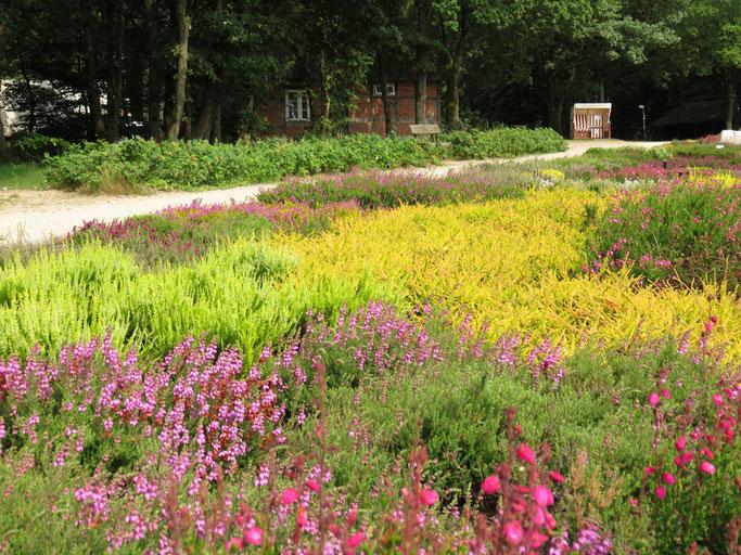 Die Heideblüte der Lüneburger Heide