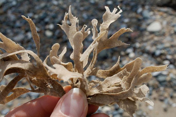 Strandgut und andere Fundstücke - trockene Alge - Zebraspider DIY Anti-Fashion Blog