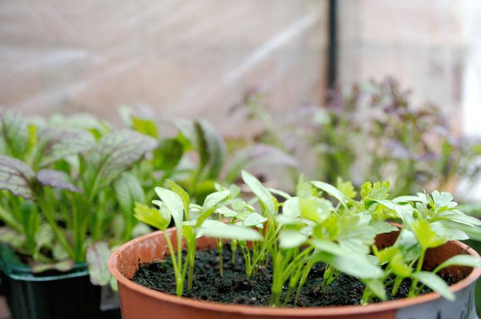 Mein englischer Garten - Petersilie und Salat - Zebraspider DIY Anti-Fashion Blog