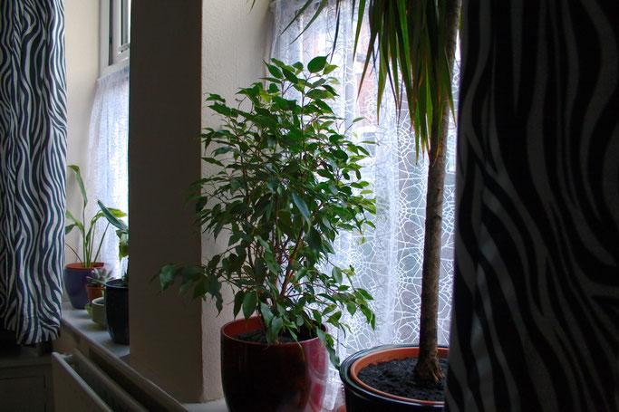 Zebravorhänge, Spinnennetz und Zimmerpflanzen - Ficus benjamini - Zebraspider DIY Anti-Fashion Blog