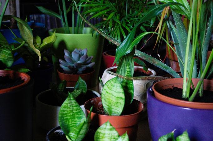 Zebravorhänge, Spinnennetz und Zimmerpflanzen - Blumentöpfe mit Grünpflanzen - Zebraspider DIY Anti-Fashion Blog